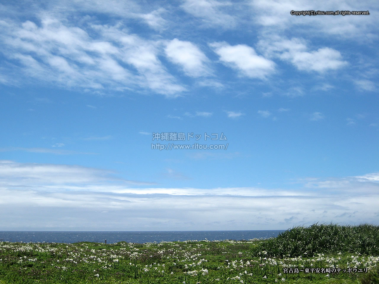 宮古島〜岬のテッポウユリ