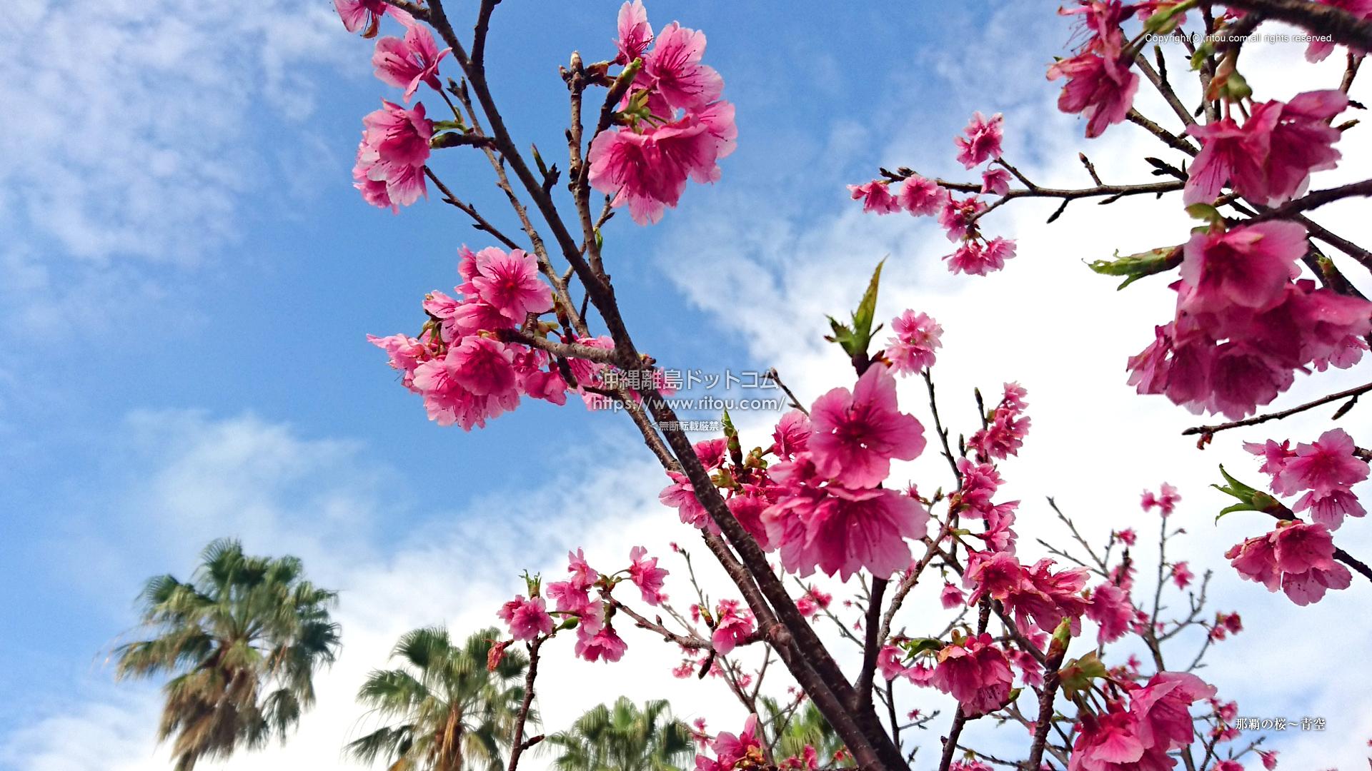 那覇の桜〜青空