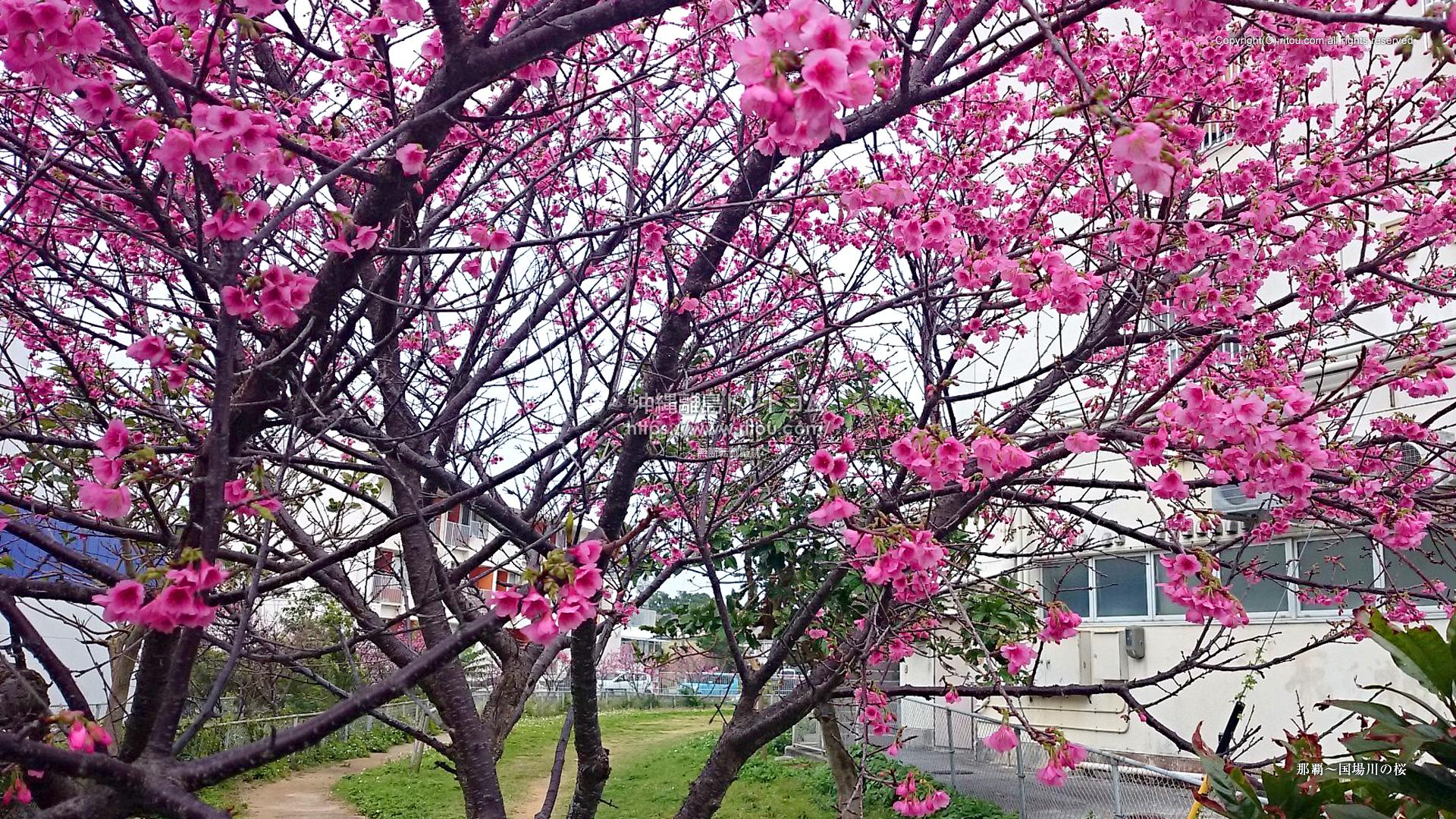 那覇〜国場川の桜