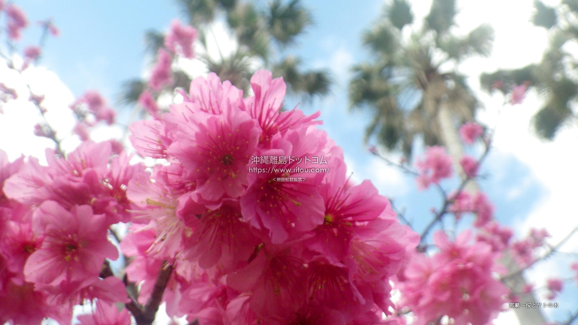 那覇〜桜とヤシの木