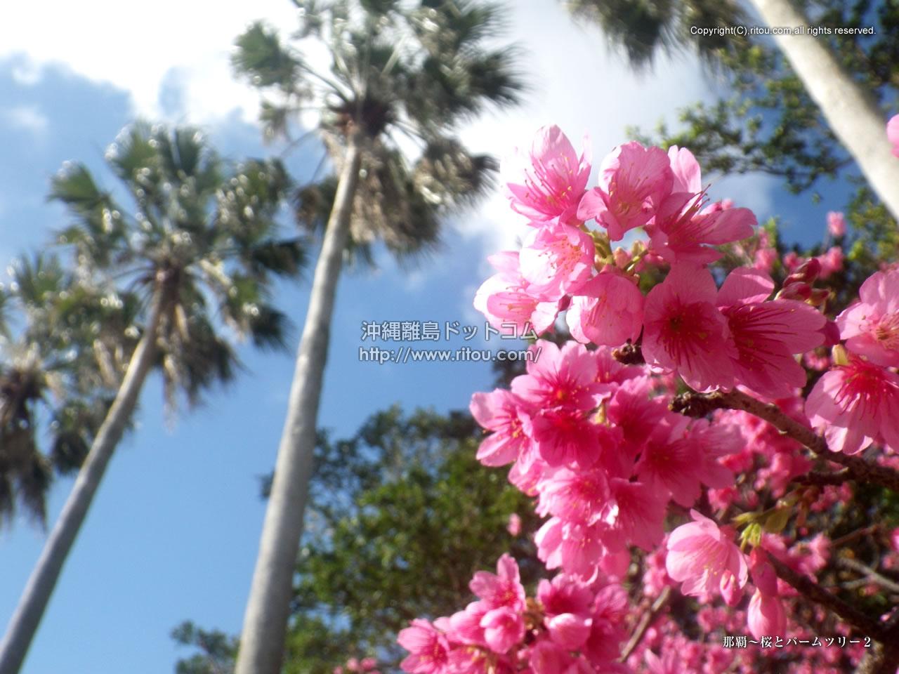 那覇〜桜とパームツリー2