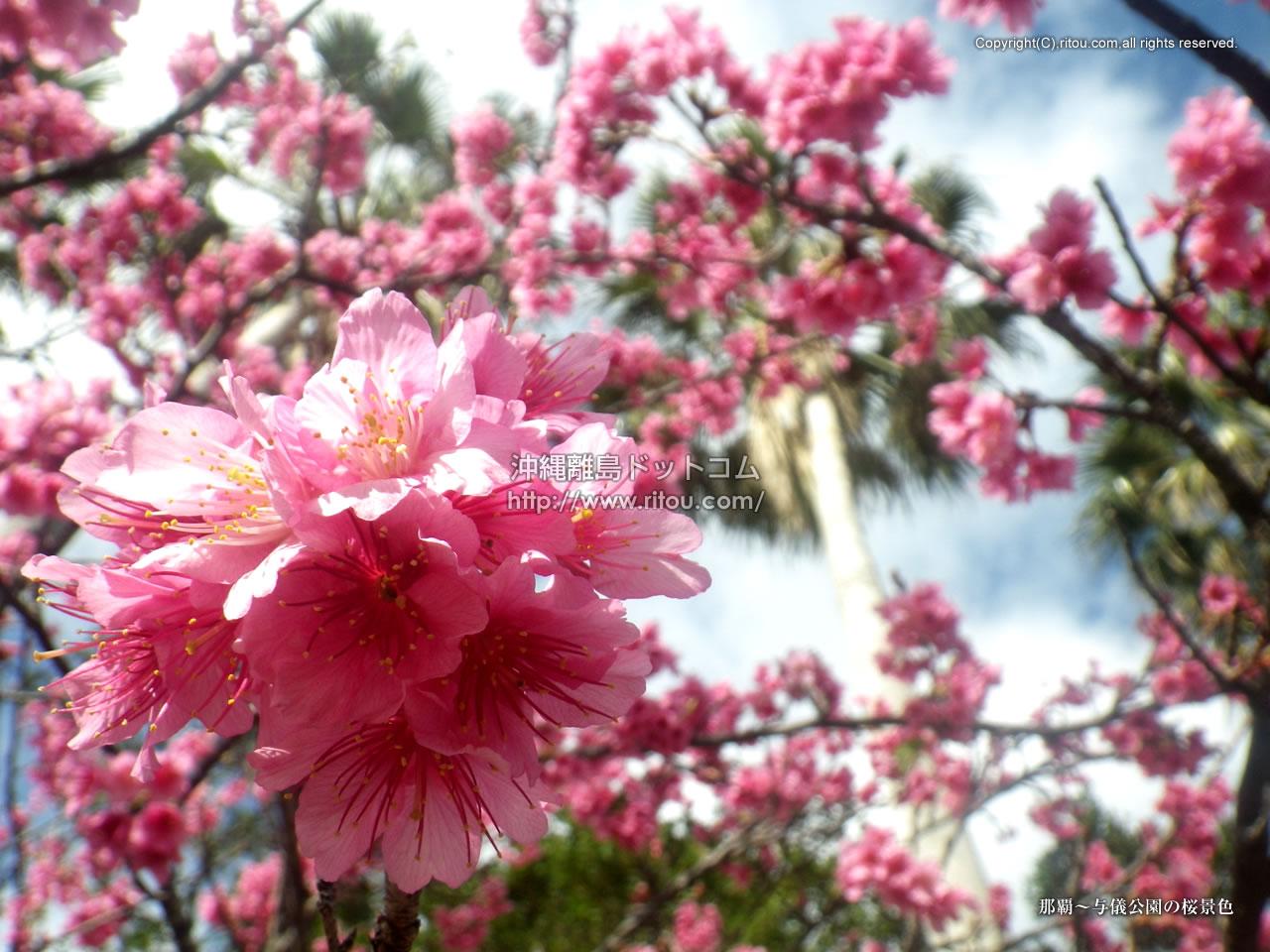 那覇〜与儀公園の桜景色