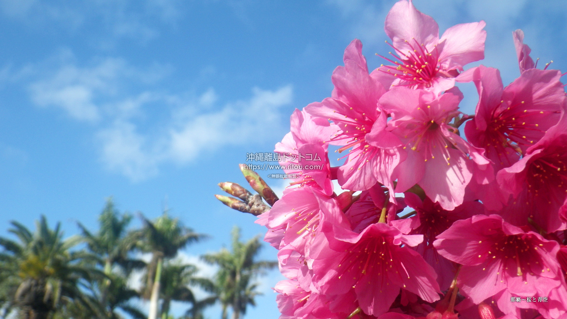 那覇〜桜と青空