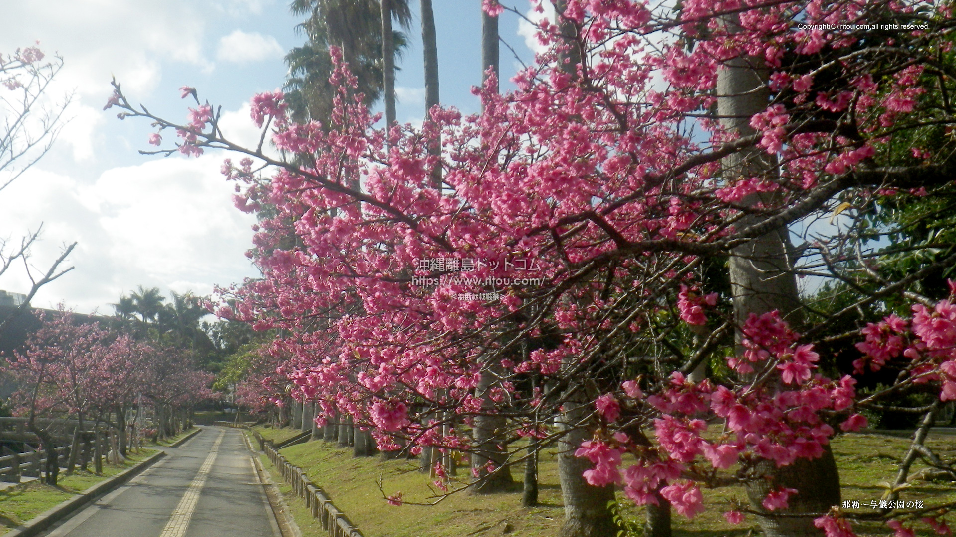 那覇〜与儀公園の桜
