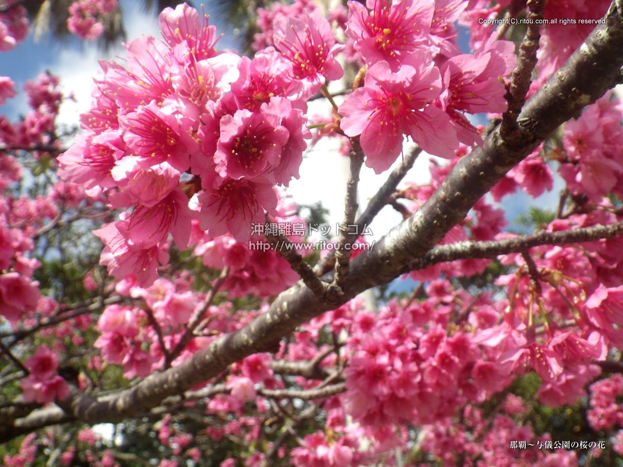 那覇〜与儀公園の桜の花
