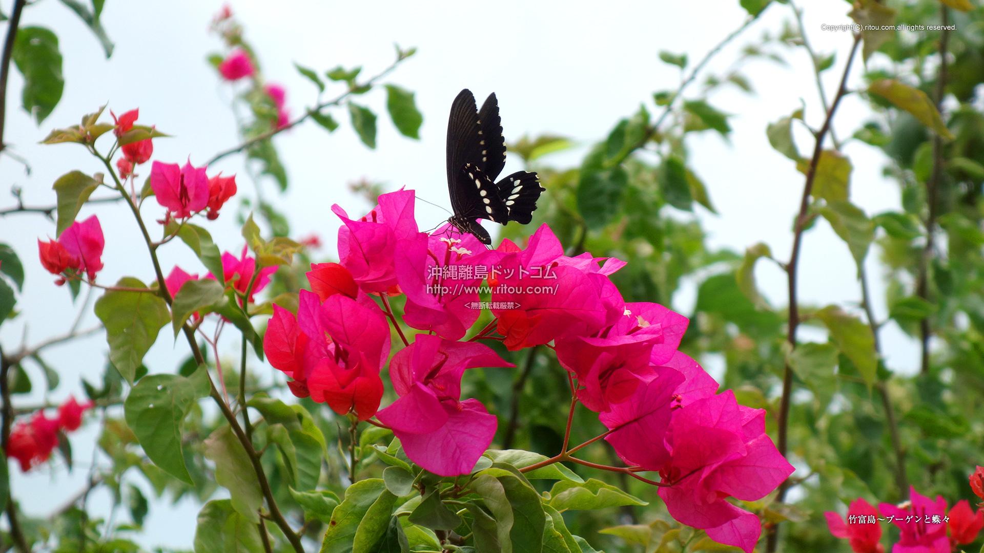 竹富島〜ブーゲンと蝶々