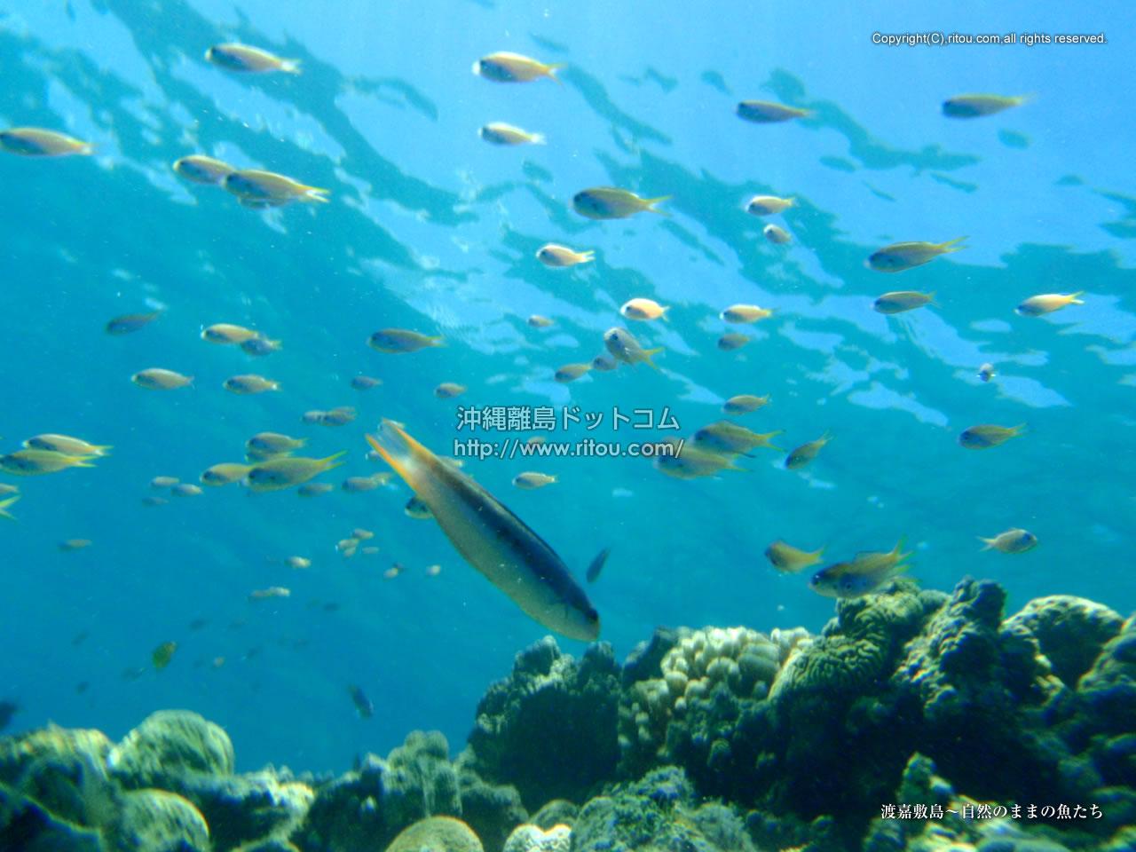 渡嘉敷島〜自然のままの魚たち