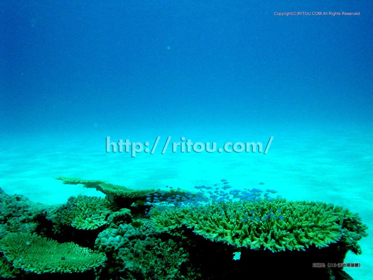 阿嘉島〜ニシ浜の海の中