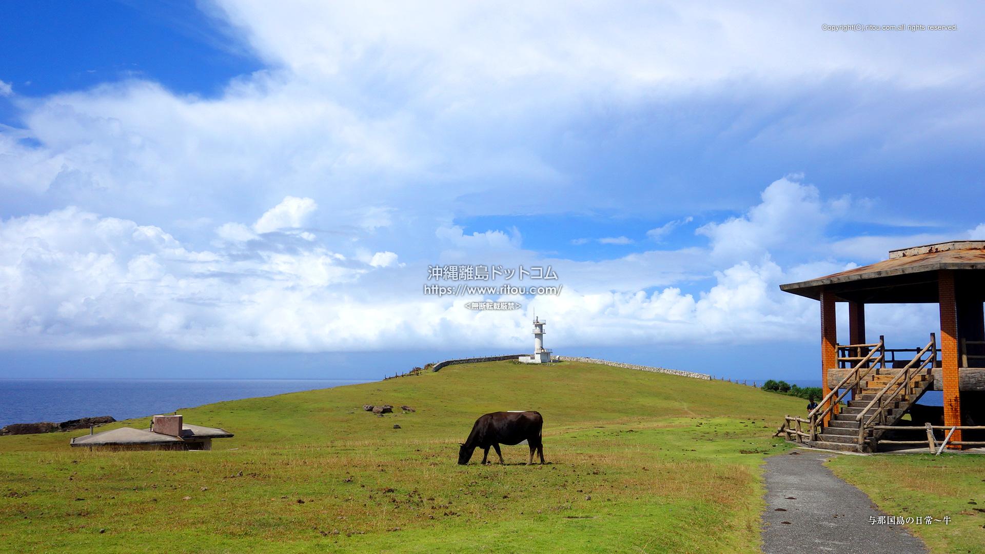 与那国島の日常〜牛