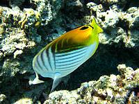 嘉比島の嘉比東の海の中 - トゲチョウチョウウオも居ます