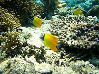 嘉比島の嘉比東の海の中 - フエヤッコダイも悠々泳いでいます