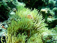 安室島の岩場近くの海の中 - クマノミの種類も多い