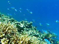 安室島の砂浜近くの海の中 - サンゴが生き生きしているので魚も多い