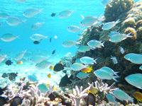 安慶名敷島の安慶名敷島の水中ベストスポット - スズメダイの群れも居ます