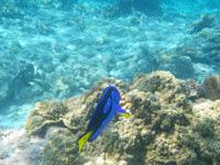 嘉比島の嘉比北西の海の中 - ナンヨウハギを高い頻度で発見できるかも?