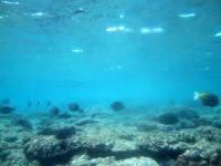 粟国島の筆ん崎西の海の中 - 浅い部分にもたくさんの魚が