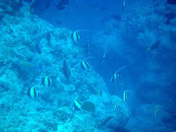 粟国島の筆ん崎入口の海の中「運が良ければツノダシの群れにもあえるかも?」