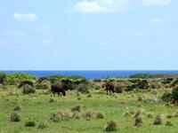 粟国島の村民牧場 - 牛もきちんと望めます