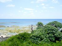 粟国島の照喜名原のモンパの木群落/ビーチ - モンパの木の葉っぱが印象的