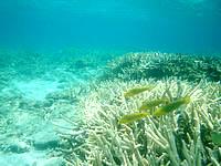 阿嘉島のニシ浜南のはずれの海の中 - 魚は少々少なめ