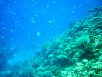 阿嘉島のニシ浜南のはずれの海の中 - いきなりドロップオフ!