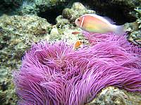 阿嘉島のニシ浜北のはずれの海の中 - こんなきれいなイソギンチャクも!?