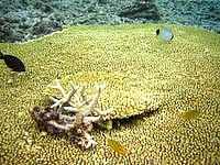 阿嘉島のニシ浜北のはずれの海の中 - 大きなテーブルサンゴも探せばあるかも