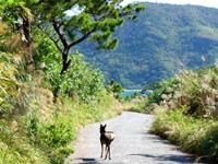 阿嘉島の阿嘉島横断道/ケラマジカ - ケラマジカとはいろいろな場所で遭遇
