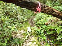 奄美大島の湯湾岳登山道 - ピンクリボンと数少ない案内が頼り