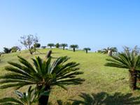 奄美大島の油井岳展望台 - ソテツが生える丘が特徴