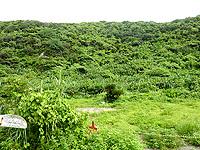 奄美大島のバショウ群生地