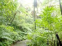 奄美大島の金作原原生林の写真