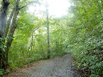 金作原原生林への道