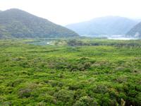 奄美大島のマングローブ原生林/ヒルギ群生地 - マングローブを見るなら歩道で!