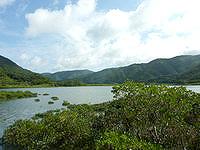奄美大島のマングローブ原生林/ヒルギ群生地 - 嘉徳方面への道へ入れば近くで望めます