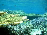 バラスのバラスと鳩間島の珊瑚礁 - まさに珊瑚の森でした
