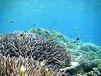 バラス珊瑚