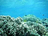 バラスのバラス珊瑚 - 魚たちがのんびり暮らしています