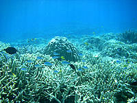 バラスのバラス珊瑚 - デバスズメダイが多い