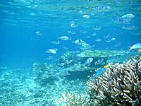 バラスと鳩間島の魚たち