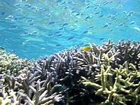 バラスのバラスと鳩間島の魚たち - やっぱりデバスズメダイが多い