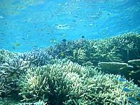 バラスのバラスと鳩間島の魚たち - サンゴに住み着いている魚が多い