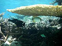 バラスのバラスと鳩間島の魚たち - 大きなテーブルサンゴの下にも魚が