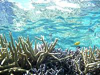 バラスのバラスと鳩間島の魚たち - 海の透明度はやっぱり抜群