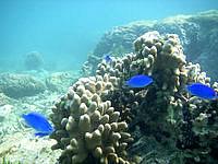 中部の真栄田岬ビーチ インリーフの海の中 - 大きいルリスズメダイが多い