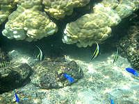 中部の真栄田岬ビーチ インリーフの海の中 - ツノダシなどもいろいろいます