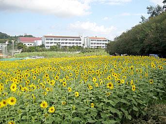 中部の北中城喜舎場のヒマワリ畑/旧ひまわりin北中城会場