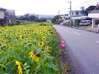 北中城荻道自治体ひまわり畑
