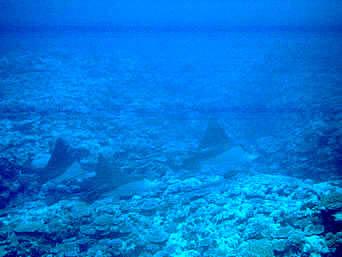 鳩間島の島仲浜リーフエッジの海の中「なんと言ってもエイの群れと遭遇しました」