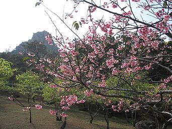 伊江島の城山登山道「車道の脇にきれいな桜?の木があります」